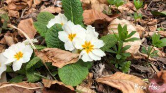 primerose in bloom