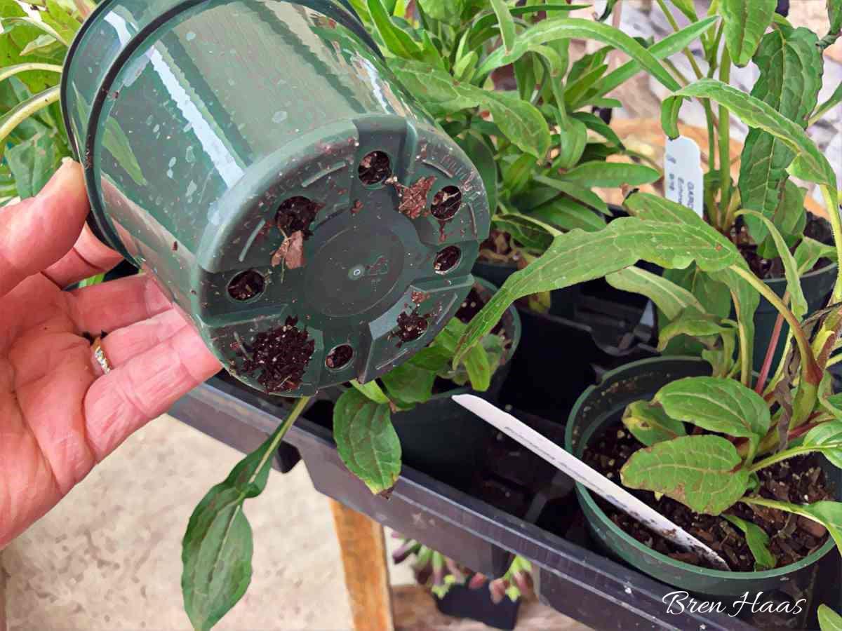 Bottom of Healthy Perennial Plant