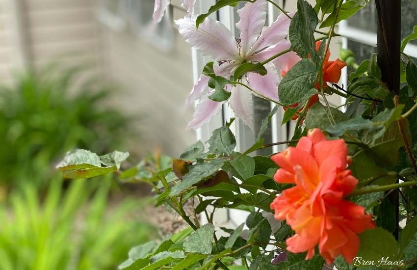 Orange rose climbing with a clematis