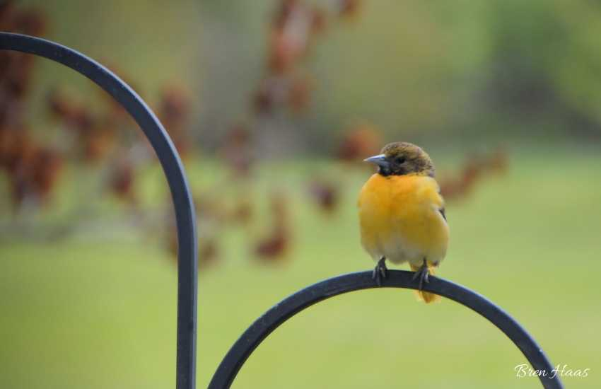 Baltimore Oriole on feeder