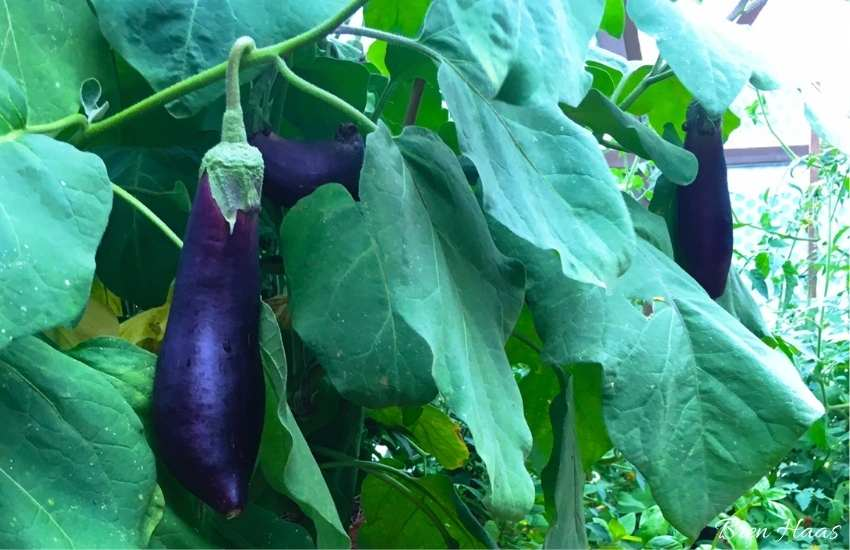 Long Purple Eggplant on the Vine in Dome Garden