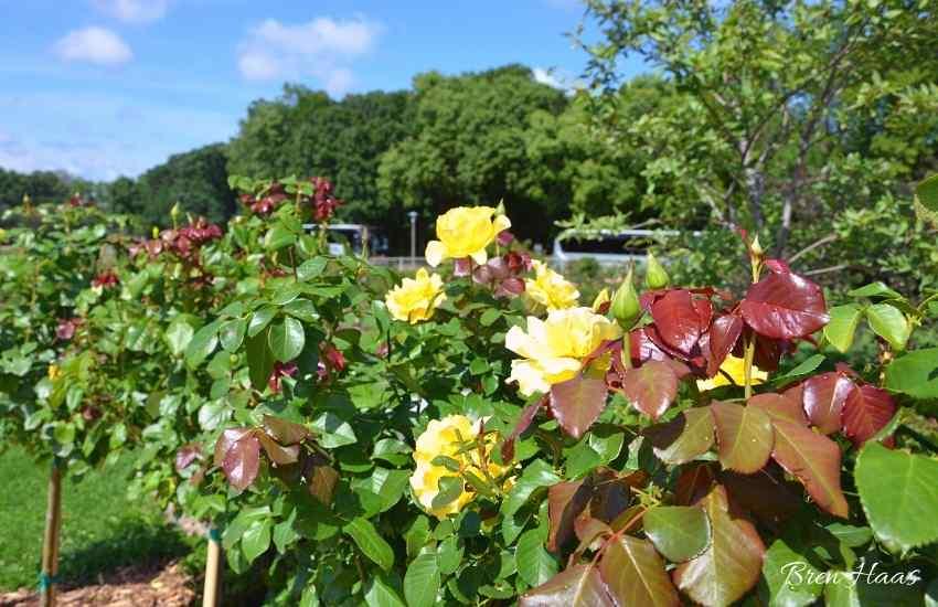 rose garden too hot to take photos