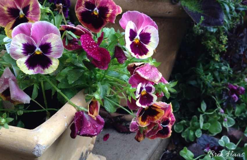 pansy in container