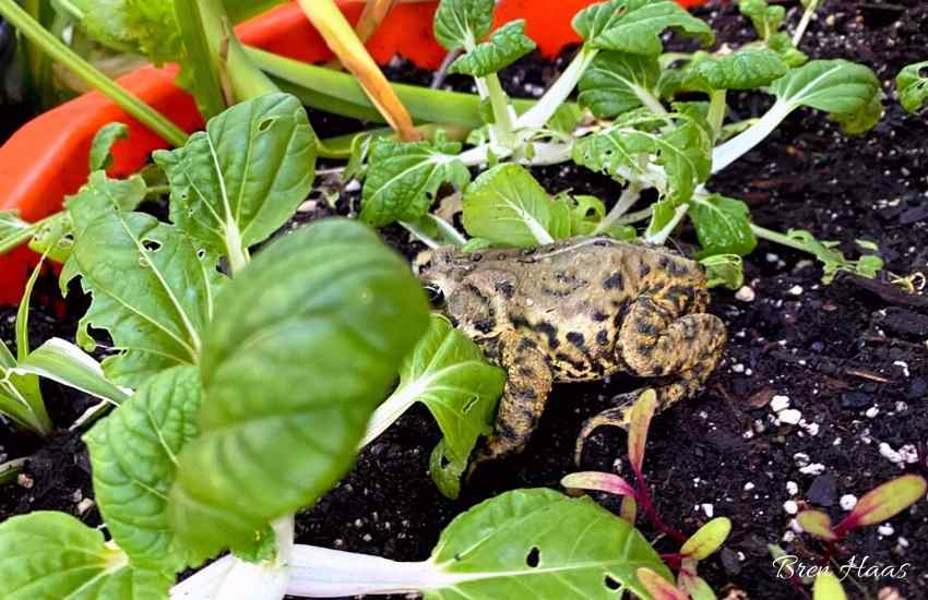 toad eating bugs in winter dome