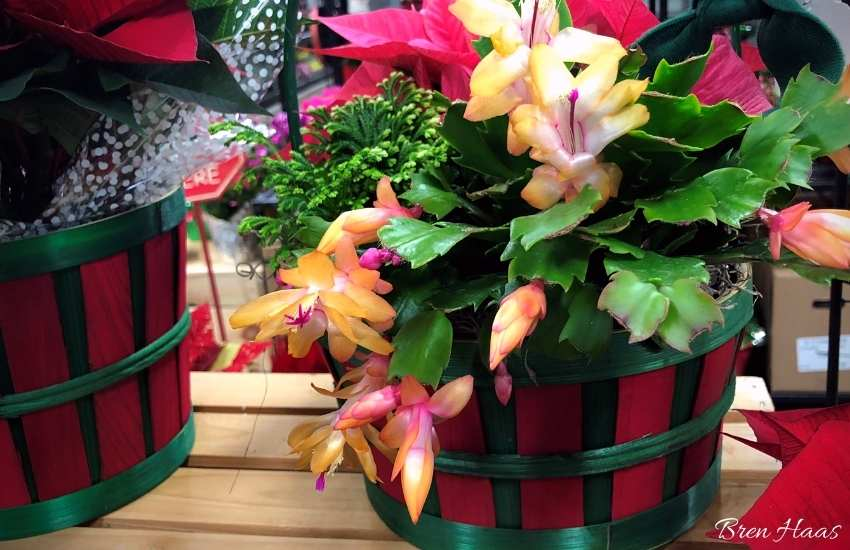 Christmas Cactus in Container Combo