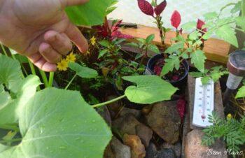 summer new growth on poinsettia