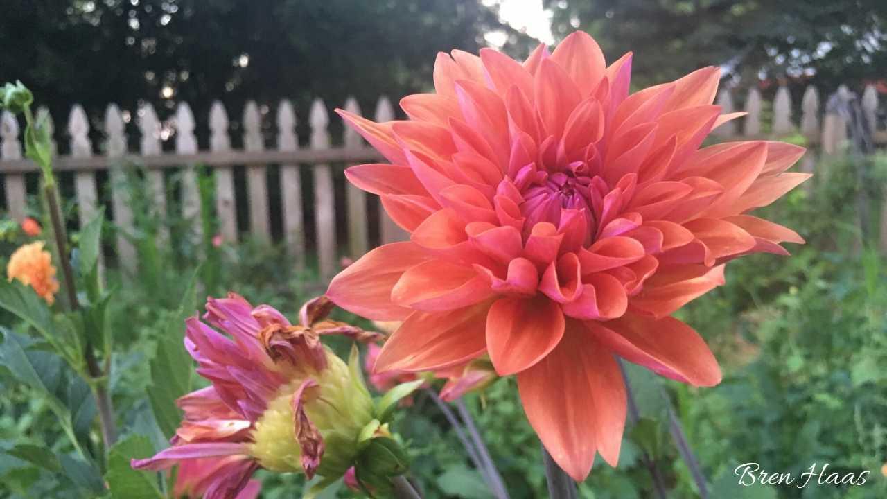 Dahlia in the cut flower garden