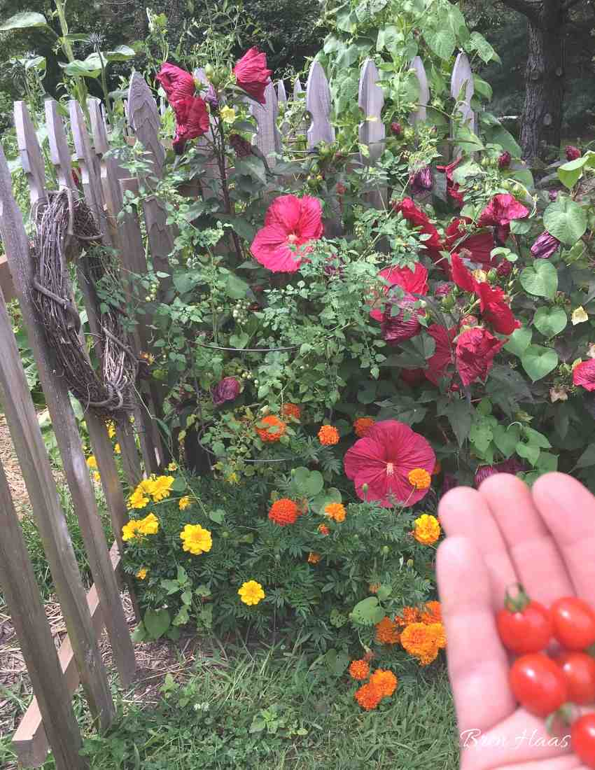 tomatoes mixed with flowers at gate
