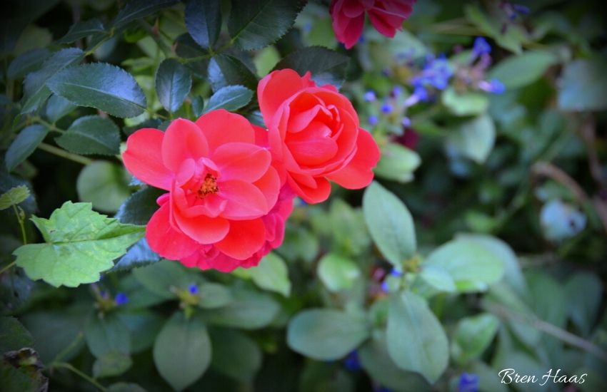 red rose in patriotic theme garden