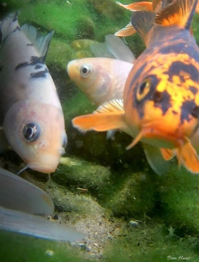 Koi have whiskers