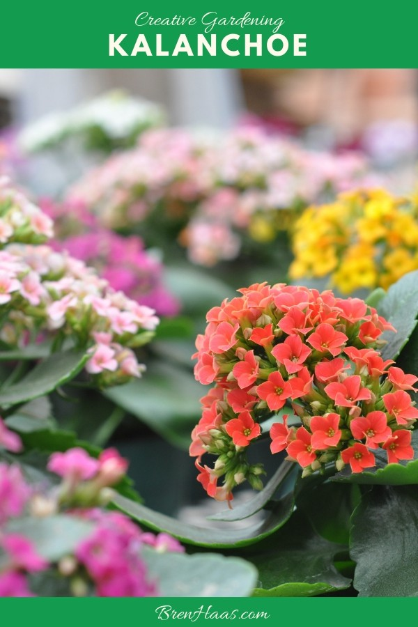 Pinterest share of the Kalanchoe