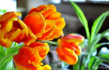 costco tulips indoors