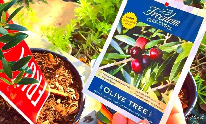 Arbequina Olive Tree Tag