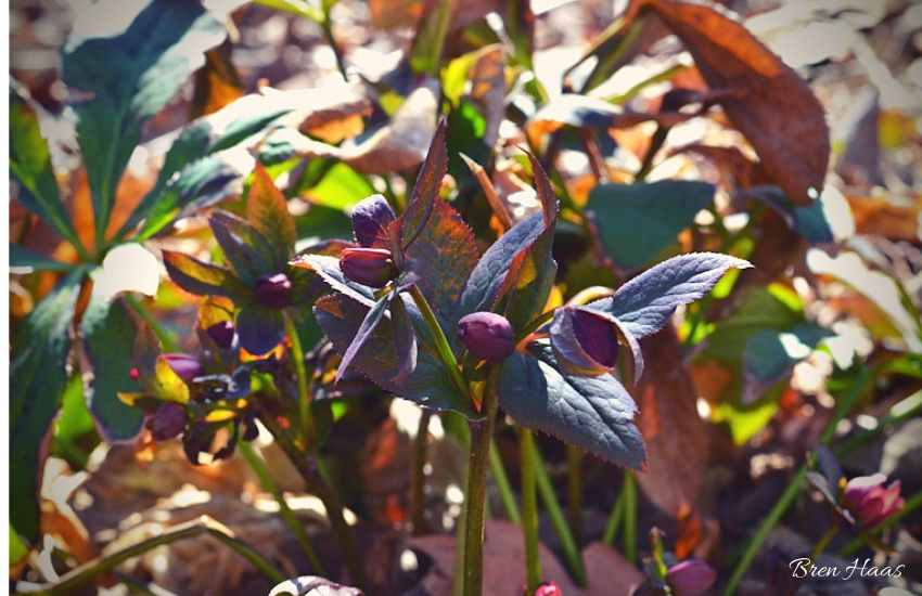 Primrose in my Spring Garden