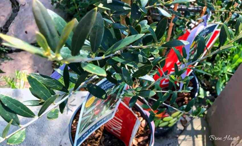 Olive Tree in Container