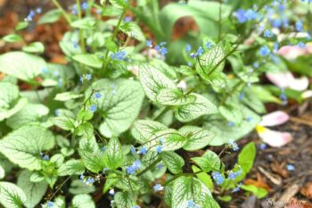 Brunnera Macrophylla ( Jack Frost Siberian Bugloss) Growing in My Spring Garden