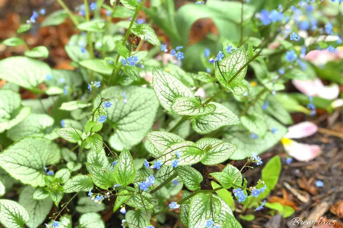Brunnera Macrophylla ( Jack Frost Siberian Bugloss) Growing in My Spring Garden