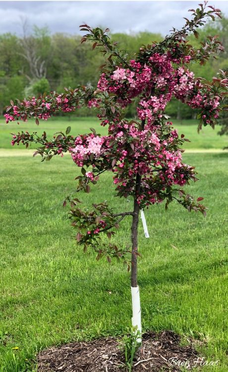 Candymint Crabapple Tree Blooming