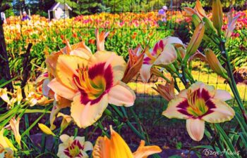 Daylilies at McClellands Farm