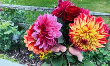 Handful of Dahlias and Roses After Frost