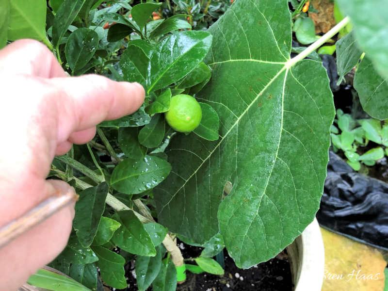 Lime Shrub in the Dome Garden