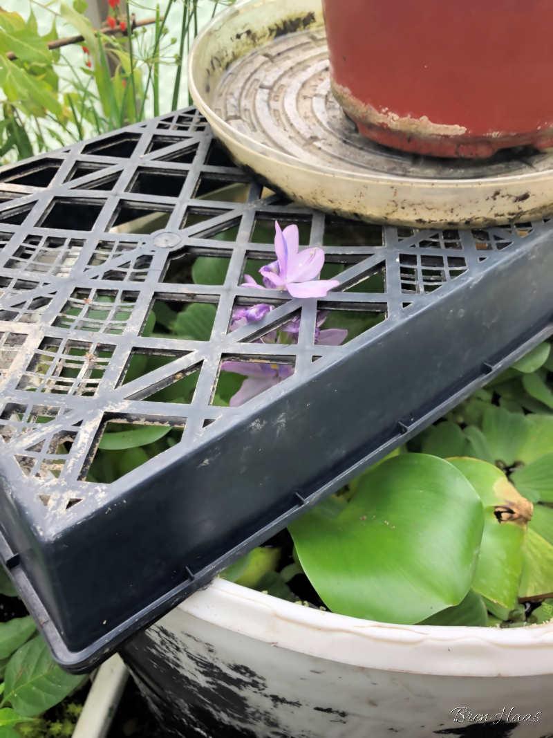 water hyacinth blooming