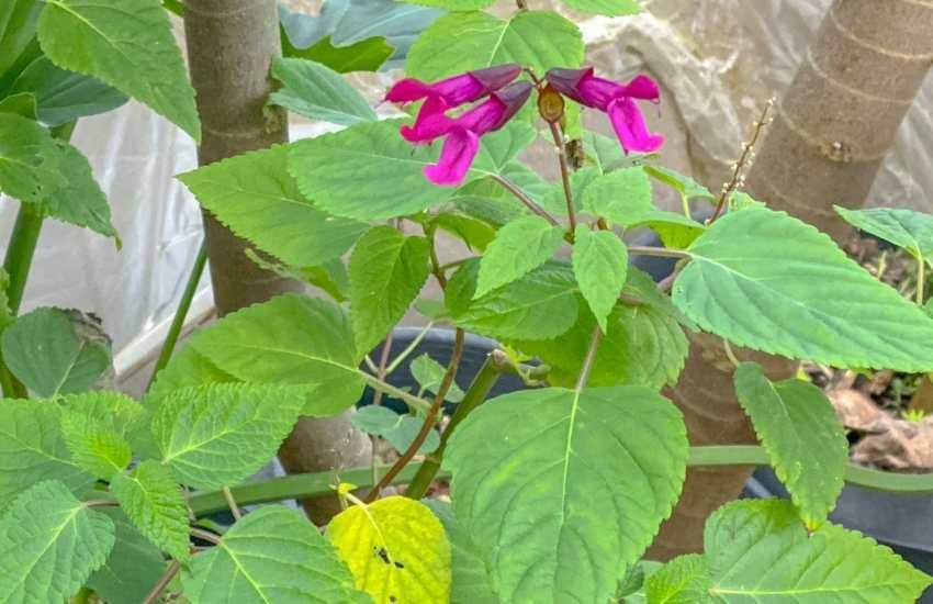 salvia blooming in december