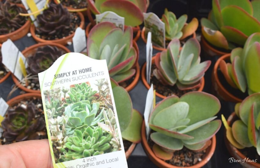 Succulents in Garden Center