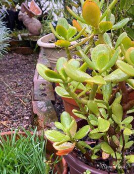 jade in Greenhouse