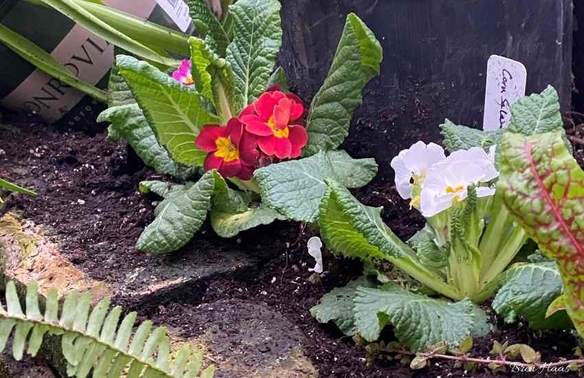 border with primrose in winter dome garden