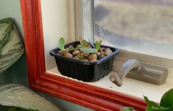 Succulent dish in the window
