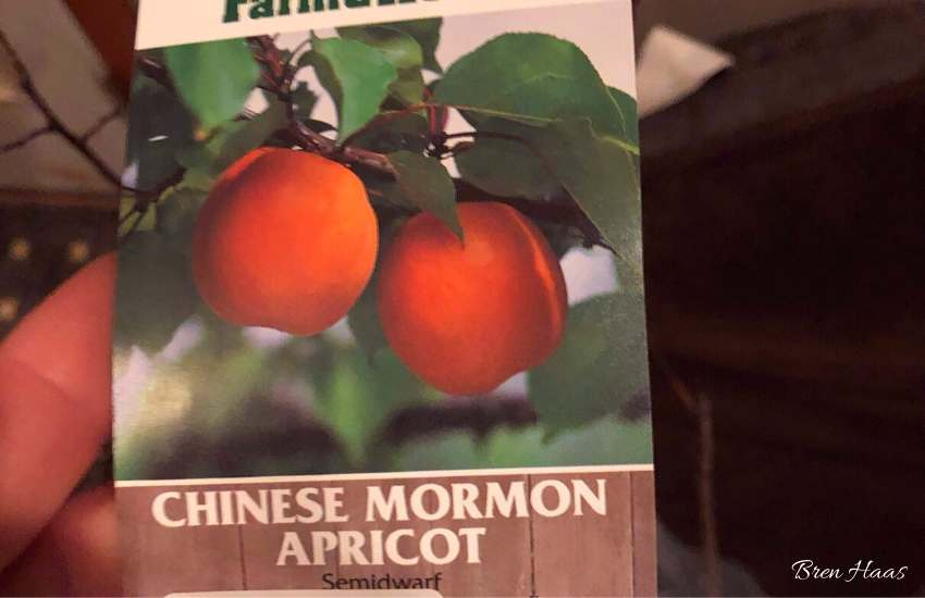 Chinese Mormon Apricot Tree Tag