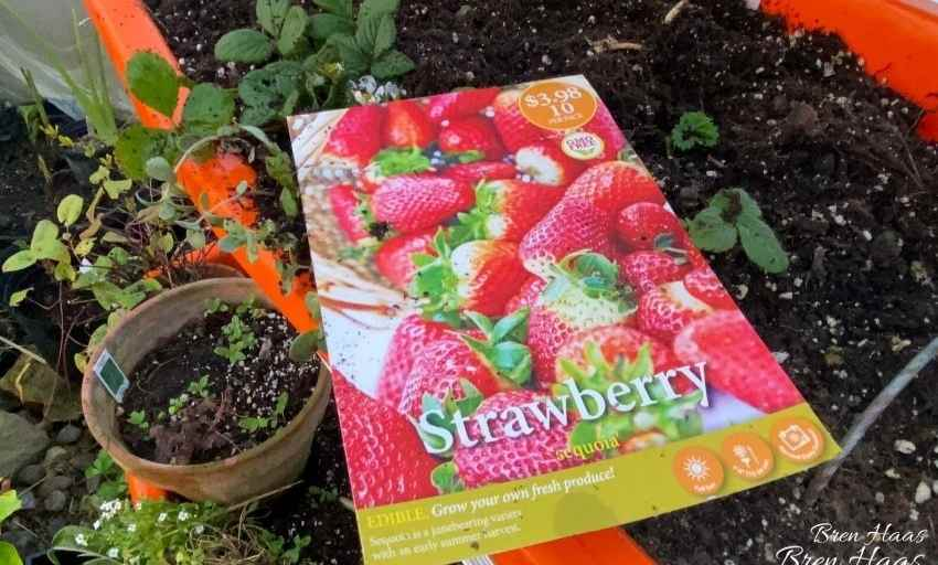 ready to plant bareroot berries