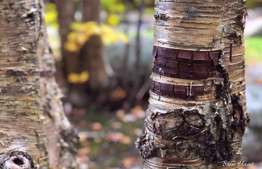 paper birch tree upclose