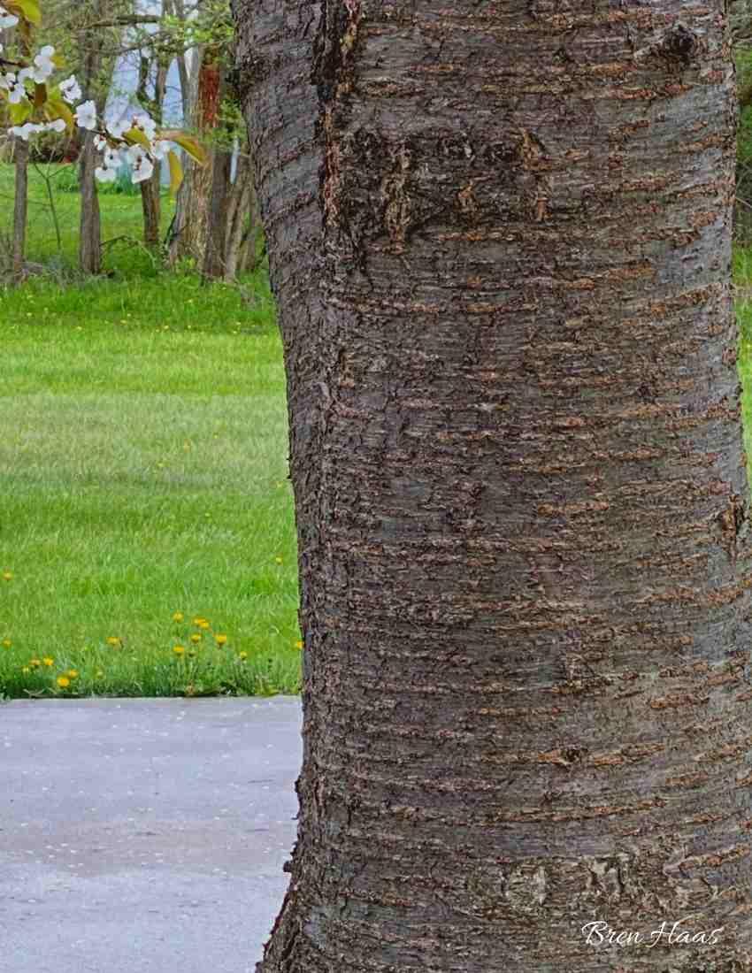 Cherry Tree Bark