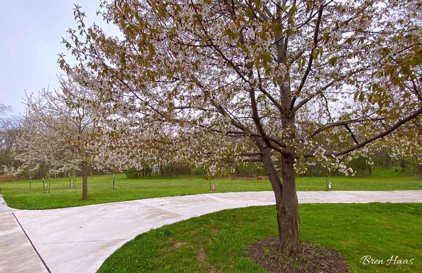Driveway Cherry Trees