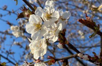fragrant white blooms