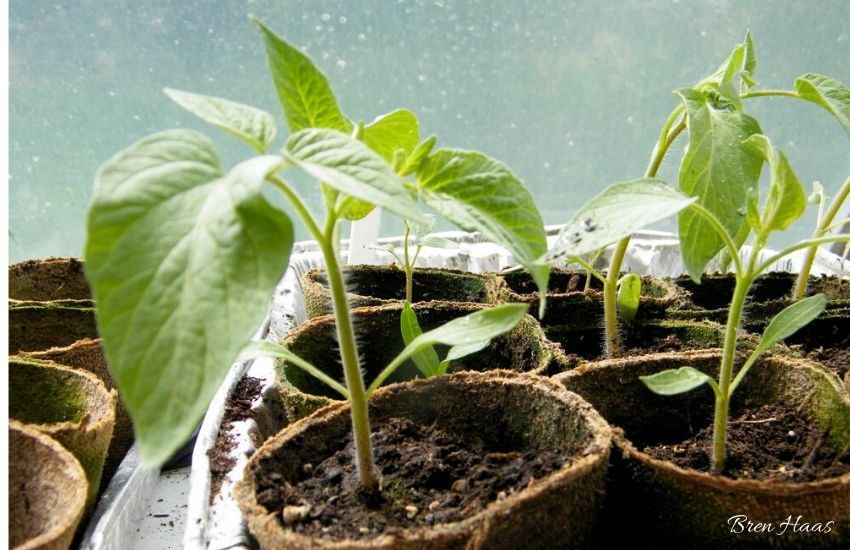 Pepper Plants in Tray