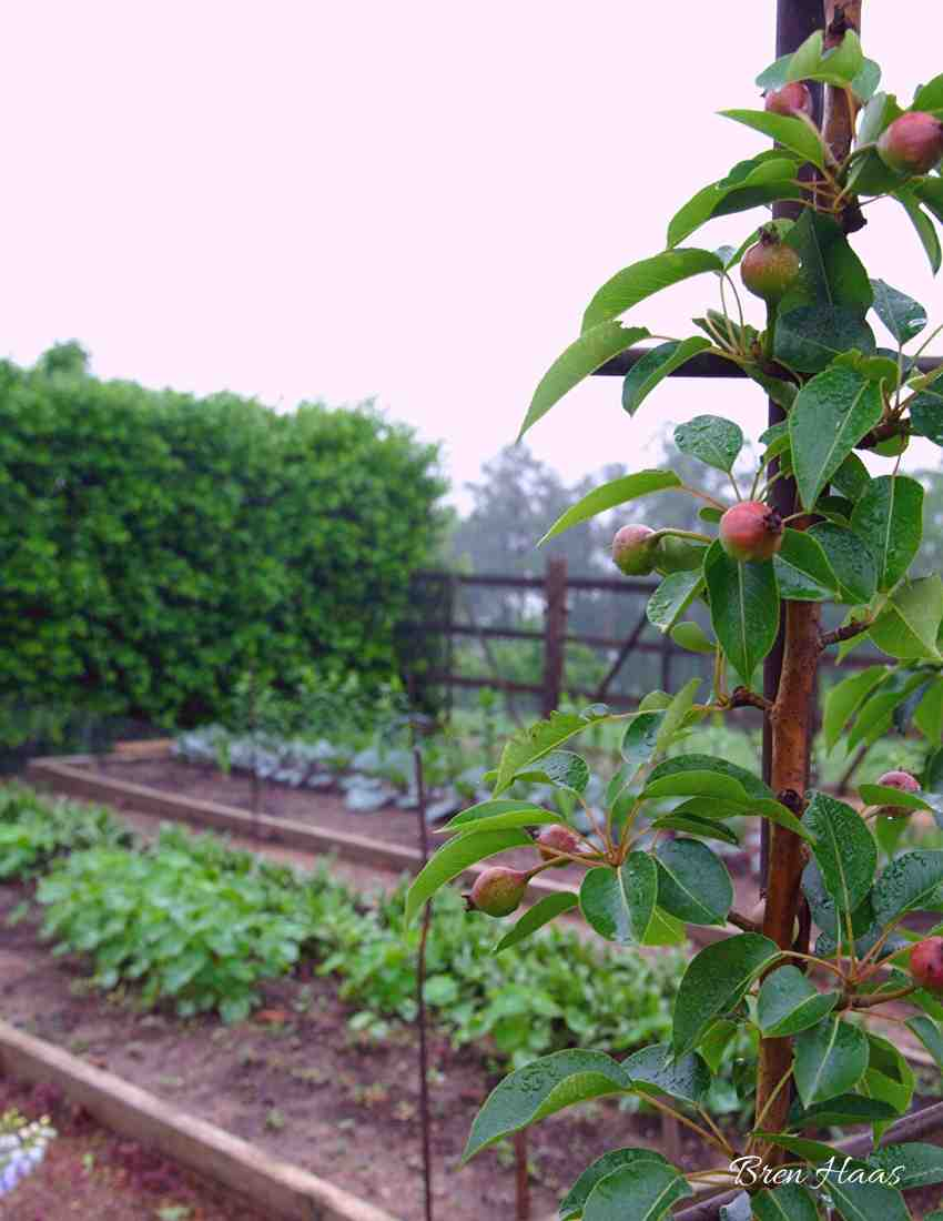 Espalier Tree in Herb Garden