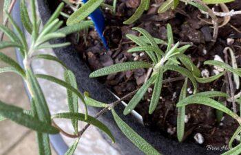 Rosemary in Smart Pot