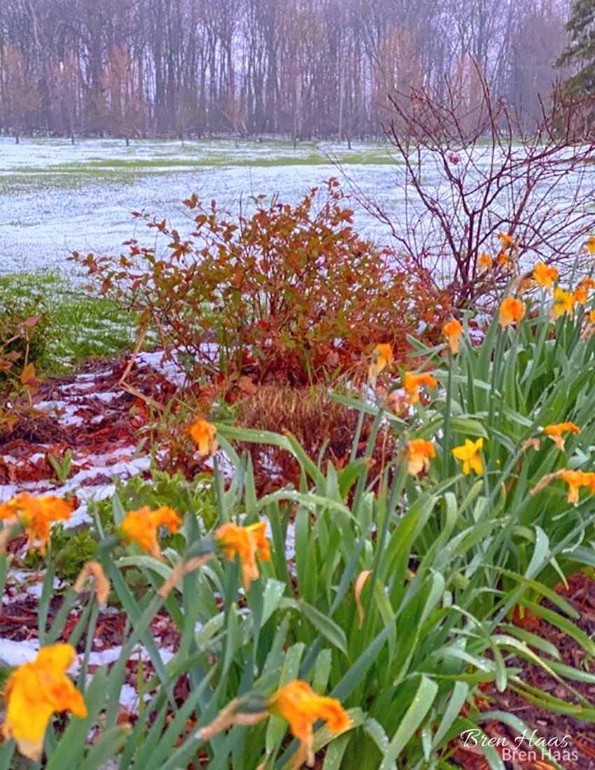 daffodils were done