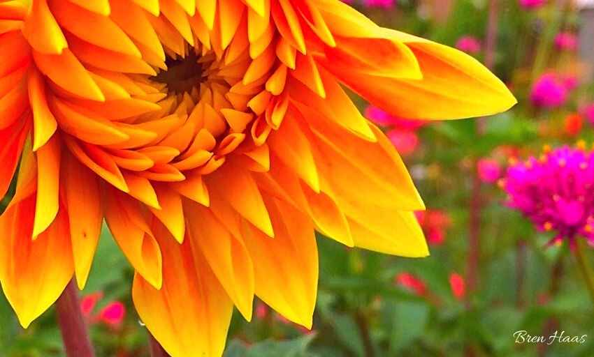 Golden Dahlia in the Cut Flower Garden