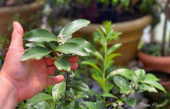 citrus bloom in hand