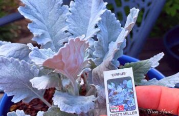 Dusty Miller in Blue Container