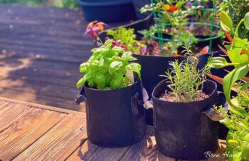 Growing Herbs in Bags