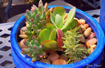 Succulents Planted in Blue Container on Hot Deck