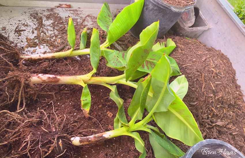 dwarf cavendish banana trees