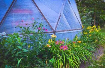 Daylily Around The Dome Garden