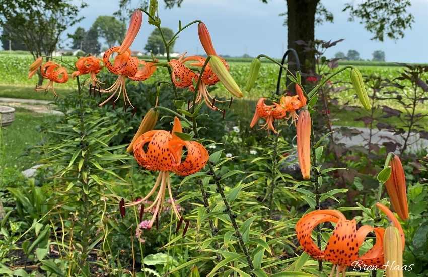 lilium lancifolium (tiger lily)