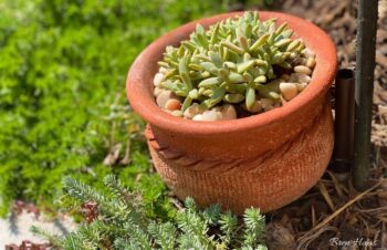 Blue Pearl Succulent in a Container Landscape